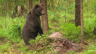 Watch Wild Brown Bears in Estonia - Video