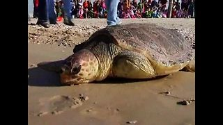 Turtle Released After Fin Op - Video