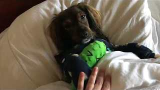 Cute Doggo Gets Tucked Into Bed After Long Day - Video
