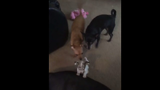 Fearless Chihuahua puppy plays with huge Mastiff mix - Video