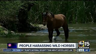Animal advocates concerned about Salt River Wild Horse harassment - Video