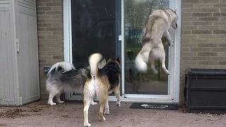 Husky Shows Very Clearly How Excited He Is For Dinner Time - Video