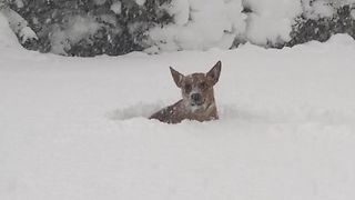 Dog Has Difficult Time Running Through Record Erie Snowfall