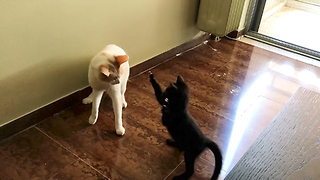 Fearless kitten repeatedly attacks much larger cat
