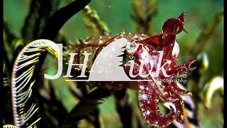 Amazing Moment a Cuttlefish Makes Its Kill - Video