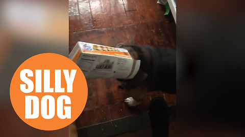 Hilarious moment naughty pooch is caught 'red-pawed' with its head stuck in a cheeseburger box