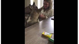 Huskies forcefully claim human's cup of tea - Video