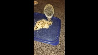 Hedgehog munches on meal worms