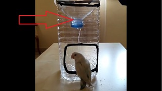 Little parrot adores his homemade shower - Video