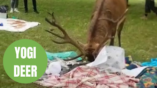 Hungry deer raids a charity picnic