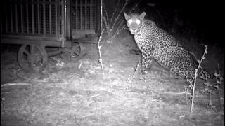 Male leopard sacrifices love for chicken in cage