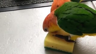 Baby parrots engage in adorable tug-of-war match