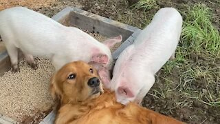 Friendly doggy meets his new pig friends