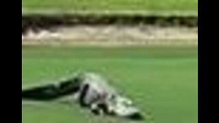 Three-Legged Alligator Hobbles Across Golf Course in Florida