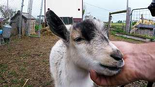 Baby Goat Is In Heaven With Face Massage - Video