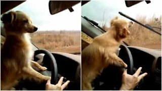 Driving dog hates windshield wipers