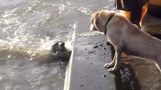 Seal pup plays hide and seek with dog - Video