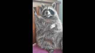Pet raccoon grooms himself every night before bed