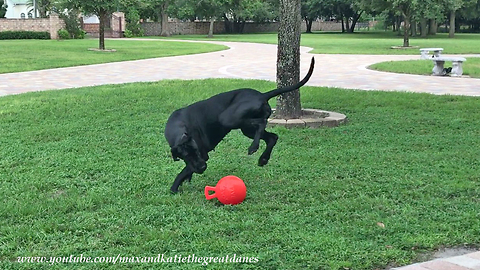 Athletic Great Dane loves to play fetch