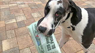 Great Dane Has Fun Delivering The Newspaper