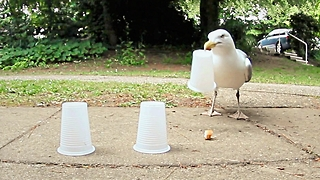Smart Seagull Plays Shell Game And Wins Every Time
