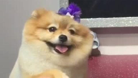 Adorable Pomeranian gets totally pampered