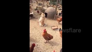 Cute Puppy Stands On Two Legs In A Chicken Farm - Video