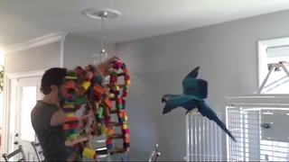 A Macaw Bird Gets Excited And Screams Like A Child - Video