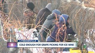 Cold enough to pick grapes for ice wine - Video