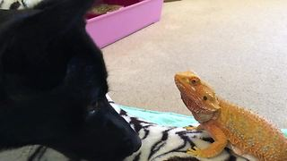 Bearded dragon shares special friendship with puppy - Video
