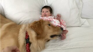Excited Golden Retriever Meets A Newborn Baby