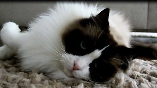 Lovable sleepy cat - Video