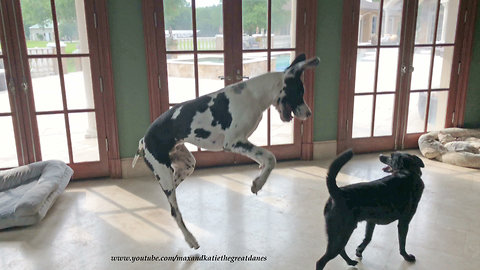 Great Danes and Friends Enjoy Playing in the Art Studio