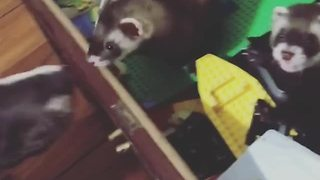 Sweet Puppy Wants To Play With Two Unimpressed Ferrets  - Video