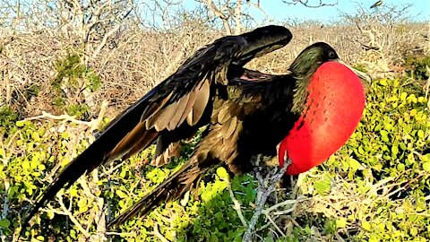 "These beautiful frigatebirds are the ""pirates""of the bird world"