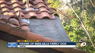 Swarm of bees kills family dog - Video