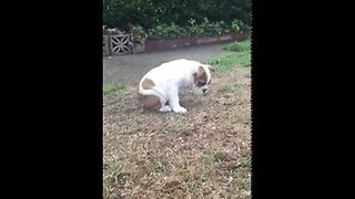 Bulldog puppy experiences rain for first time - Video