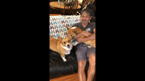 Jealous Corgis Hilariously Battle For Human's Affection