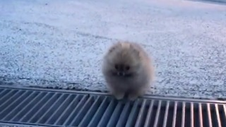 Adorable Tiny Pomeranian Learns to Leap Across Terrifying Gap - Video
