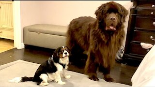 Newfie helps manage mischievous Cavalier puppy