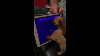 Chihuahua siblings go crazy playing video game on iPad - Video