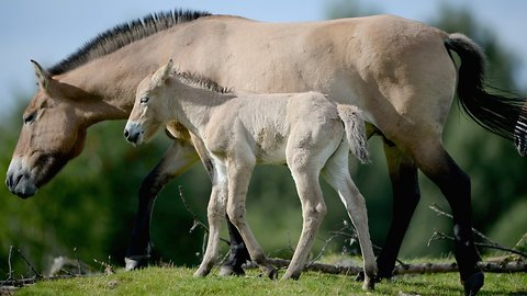 DNA Tests Show There Aren't Any Truly Wild Horses Left On Earth