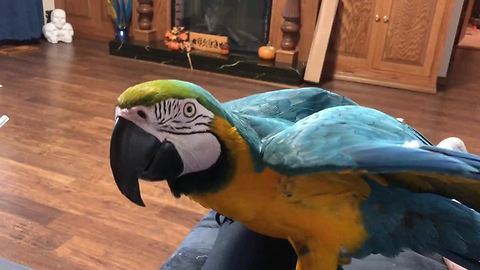 Parrot blows kisses to owner leaving for work