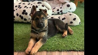 German Shepherd puppy trains to become a services dog