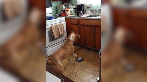 Dog Howls And Jumps At Bowl Waiting For Food To Appear