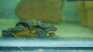 This Frog Is Looking For Love This Valentine's Day - Video