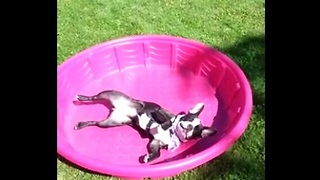 French Bulldog in kiddie pool protests lack of water - Video