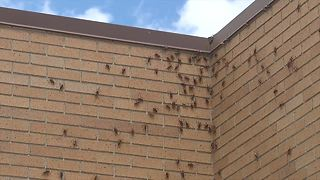 Mormon crickets have invaded the Village of Murphy in Owyhee County - Video