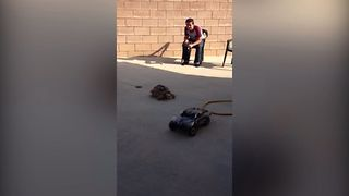 Speedy Tortoise Chases Toy Car - Video