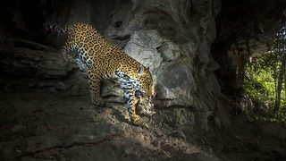 Finally a cat-ch – photographer spends four years trying to capture jaguar - Video